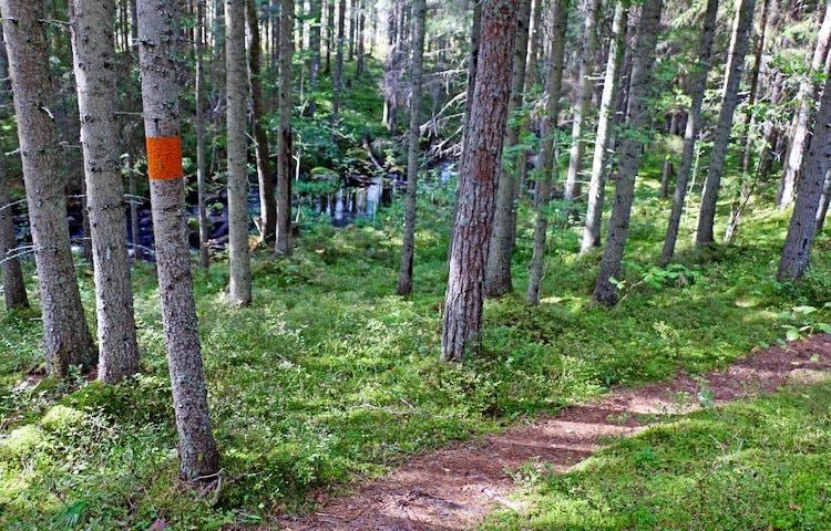 Orange markering på träd intill stigen. Mellan träden skymtas bäcken.