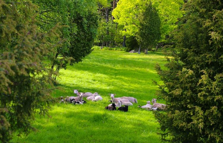 Får ligger i en gräsbevuxen glänta med skog runtikring.