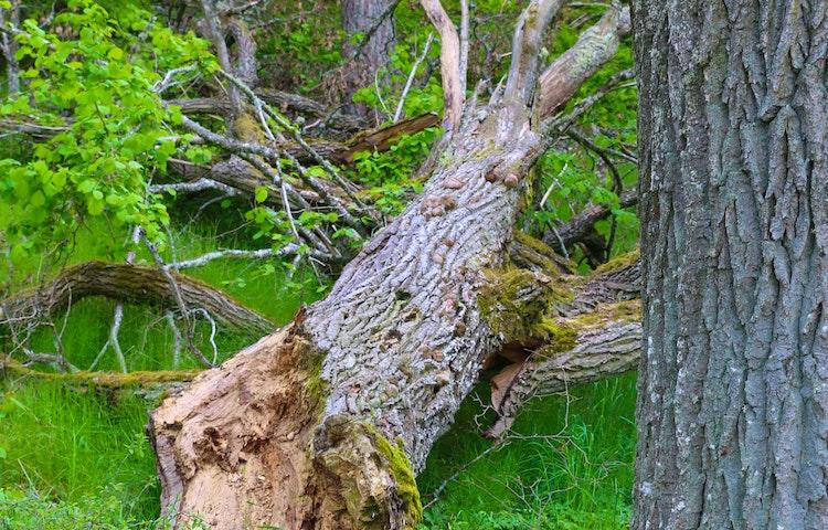 Stort gammalt träd som fallti till marken.