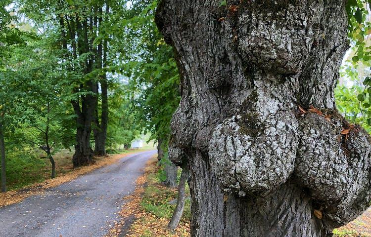 Knotigt träd med en väg vid sidan om.
