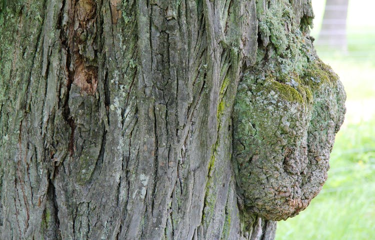 Närbild på ett gammalt träd.