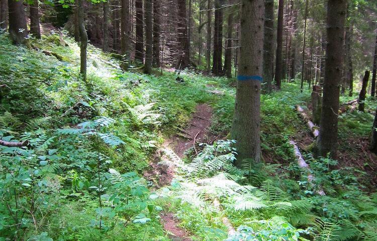 Blåmarkerat träd intill stig.