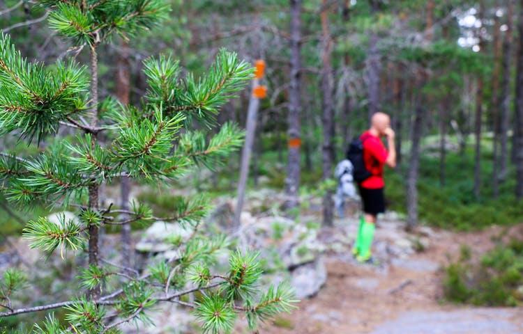 Ungtall i förgrunden. I bakgrunden syns orangemarkerade stolpar och träd samt en person.