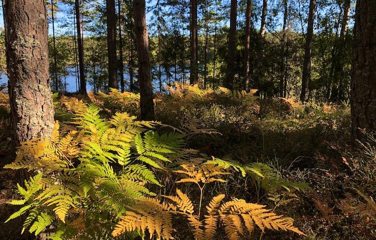 Dammstakärret på Bogesund skymtar bakom gula ormbunkar och tallskog.