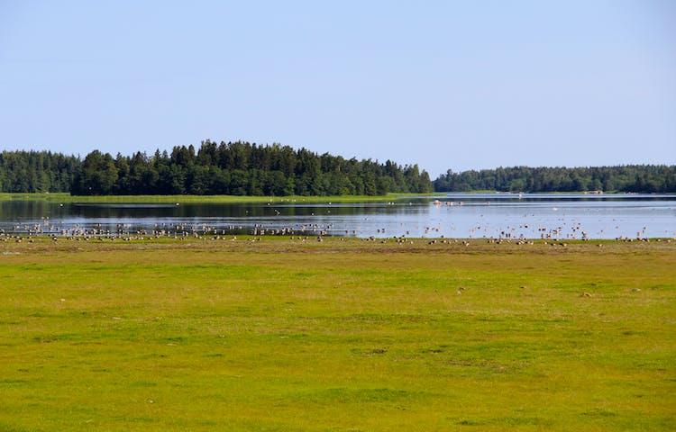 En grön strandäng leder fram till en havsvik. Vid vattenbrynet och ute på vattnet finns jättemånga fåglar.