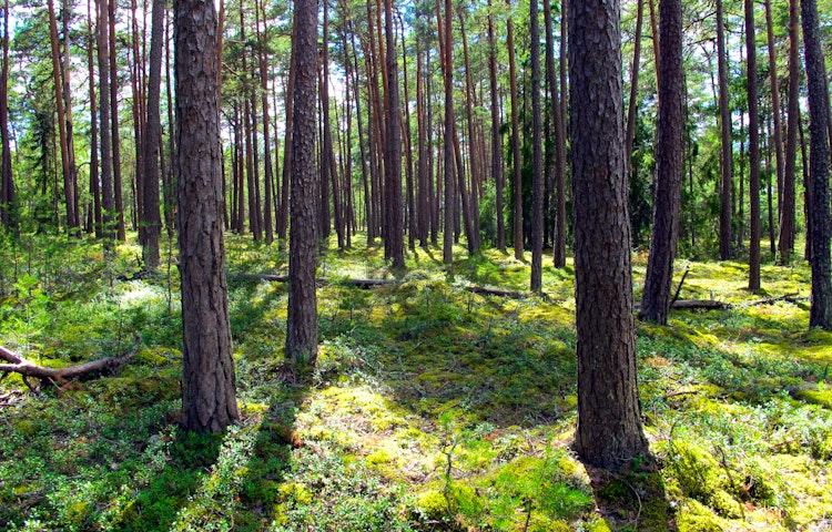 Skogen på åsen är luftig och ljus. Foto: Lena Malmström