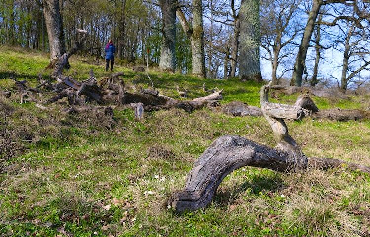Döda träd ligger på marken.