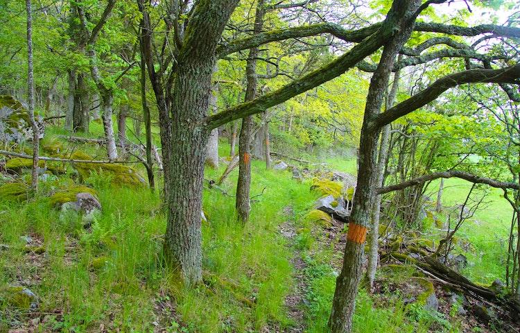En smal stig i en lövskog, en orange markering på ett träd.
