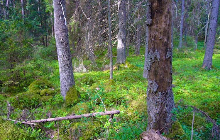 Gammelskog Gullunge naturreservat, Björn Carlberg