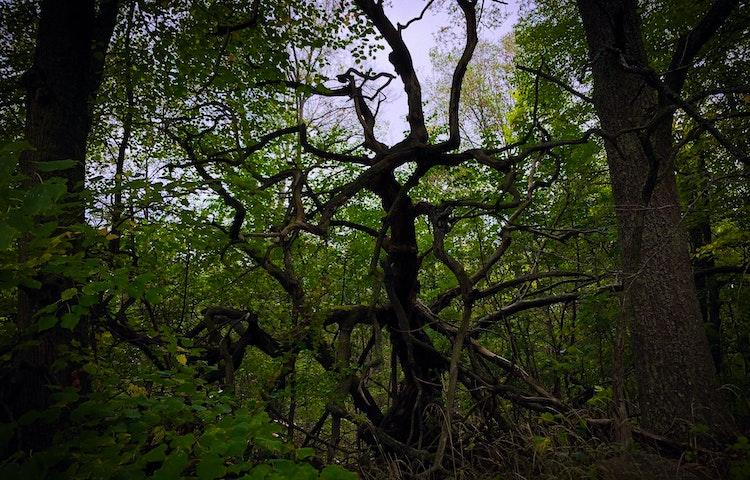 Dött träd med grenar som spretar.