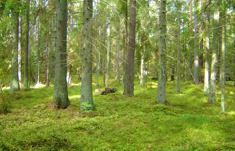 Smyg in bland gammelskogens granar i Gullunge naturreservat, Björn Carlberg