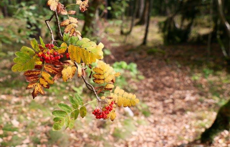 Rönnbär på gren med höstfärgade löv.