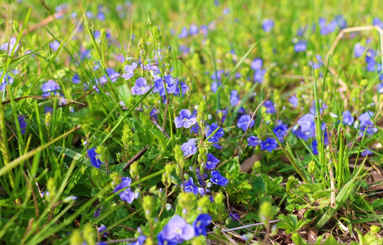En matta av blåa blommor i gräset.