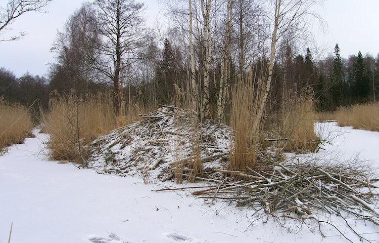 Lite snö på hög av grenar .