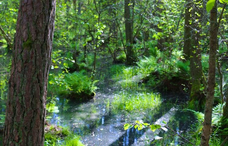 Vatten mellan buskar, träd och tuvor. Ger ett trolskt intryck.