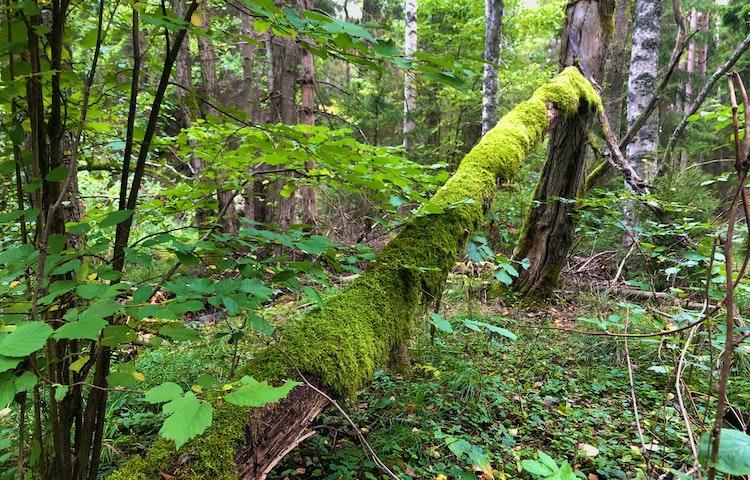 Mossbeklätt dött träd som fallit i skogen.