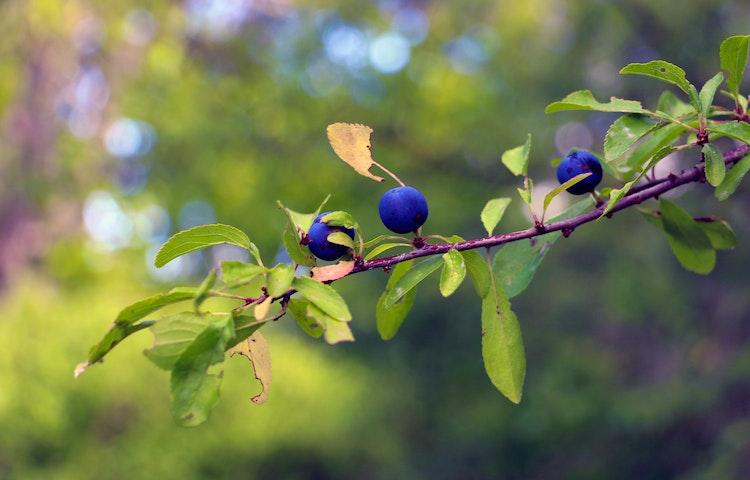 Trädgren med blåa plommon i närbild.