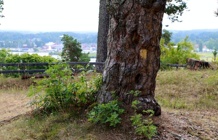 Träd med ledmarkering och utsikt in över Kungsör.