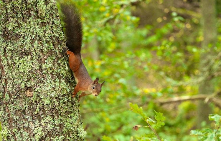En ekorre klättra ner för en trädstam.