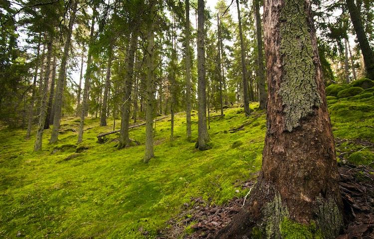 Skogsbacke med gran och grön mossa