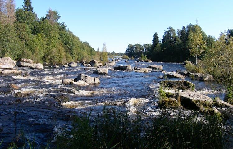 En bred och ström vattenfors med flera stora stenar. På båda sidorna av forsen är det tät skog.