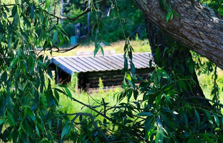 Mellan grenar och blad skymtas ett tak.