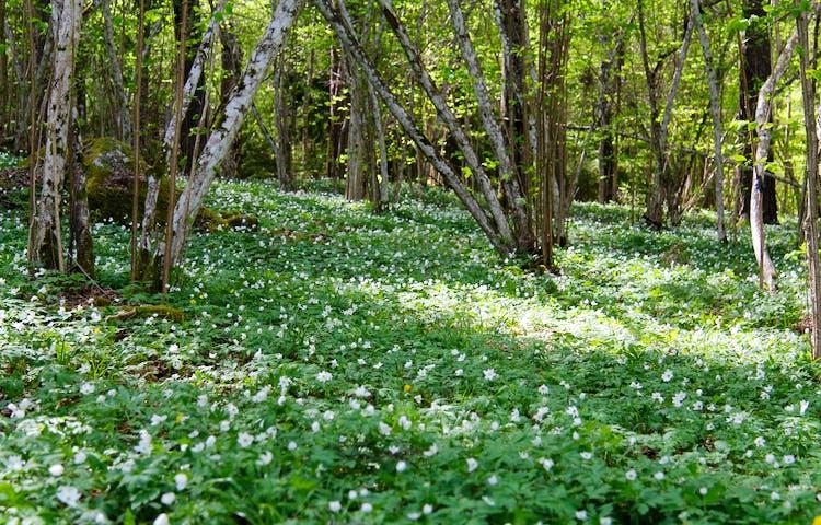 Matta av vitsippor i skog.
