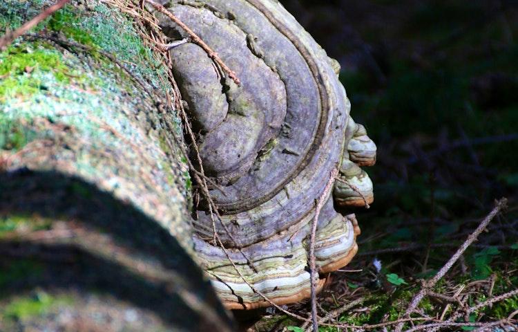 En ticka, det vill säga en svamp som växer på en trädstam.