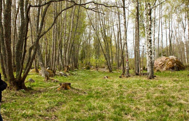 En skog med många lövträd och öppna ytor. Marken är ojämn med grästuvor, stubbar och stenar.