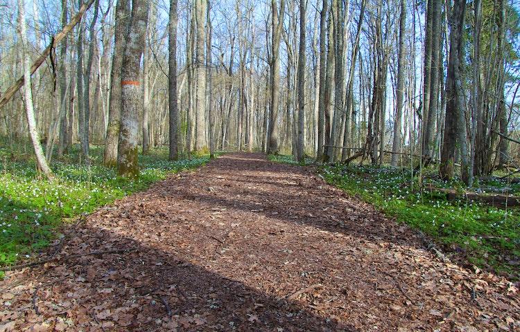 Stig med träd och vitippor på båda sidor. På ett träd finns orange ledmarkering.