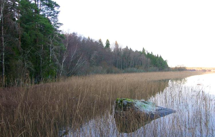 Näsviken. Skog på land möter vassen i vattnet.