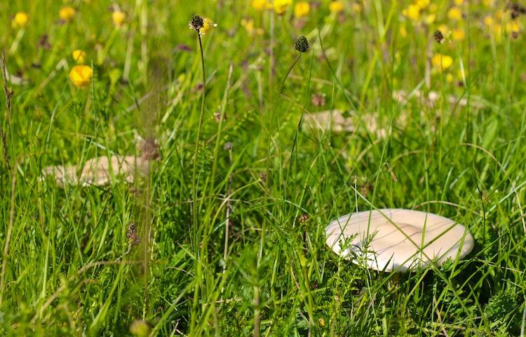 Svampar bland gräs.