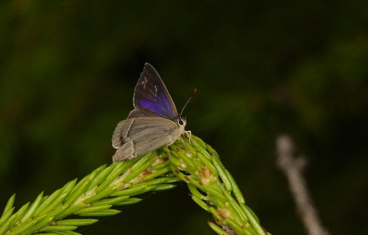Fjäril sitter på ett granskott.
