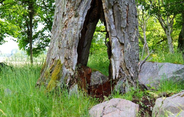 Ett gammalt ihåligt träd.