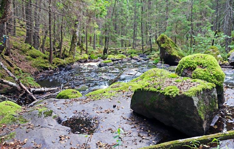 Venabäcken porlar över stenar omgiven av skog.